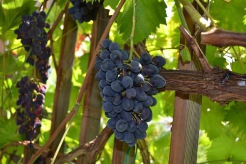 rotblaue Weintrauben